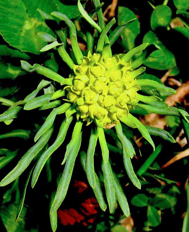 virágpolip