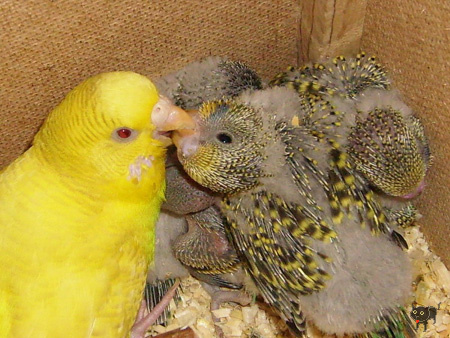 geszter: papag