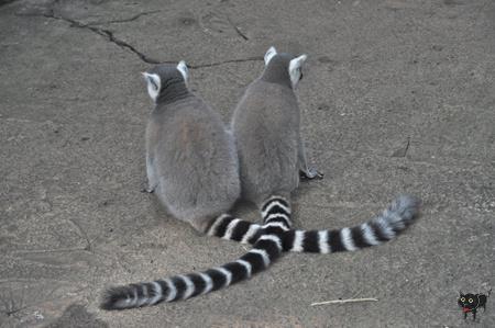 geszter: lemur1