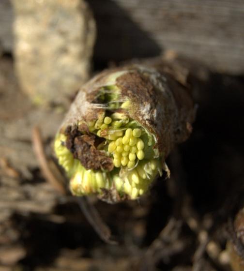 Tücsök növény